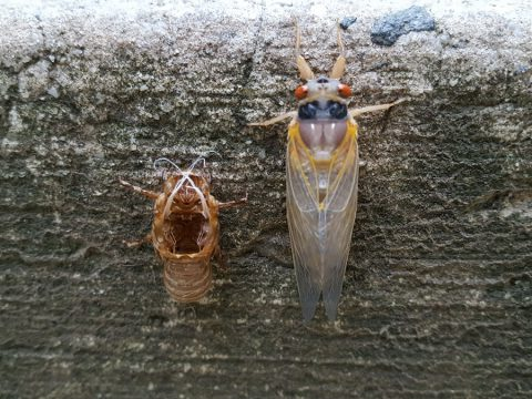 Brood VI Cicada, post molting in Alexandria, Va. Photo by William F. Yurasko